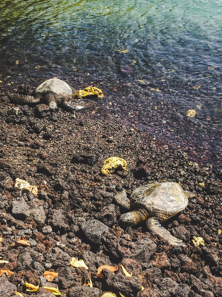 Honu or green sea turtles frequent beaches around the big island!