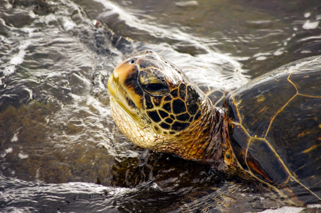 Green sea turtle on the big island of hawaii