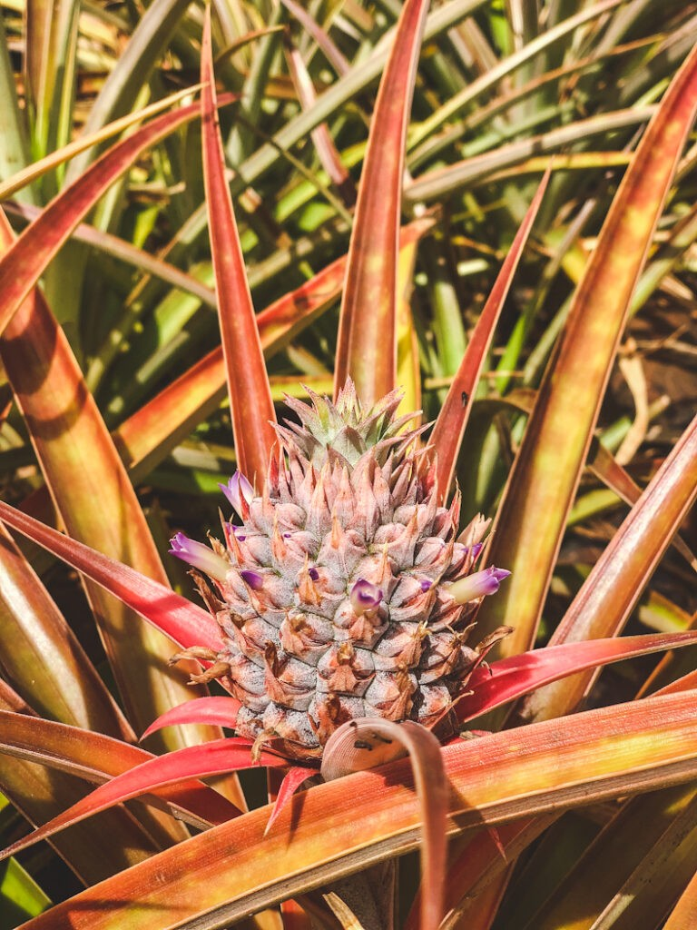 You can visit the garden showcasing different pineapple species for free and enjoy lunch at the cafe without buying tickets. To see the pineapple fields you'll need to take a ride on the 20-minute Pineapple Express, where you'll learn all about the history of the Dole Plantation.